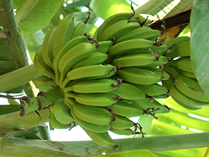 Some plant food, such as green bananas, are especially rich in prebiotic fiber. Source: http://www.freeimages.com