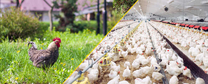 Sustainable vs Factory Farming